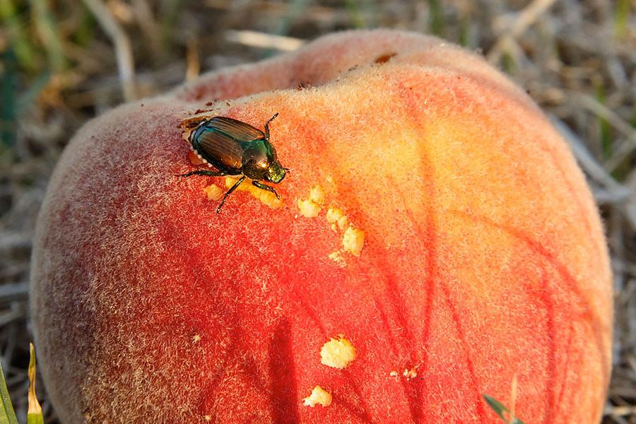 peach bug