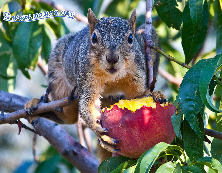peach squirrel