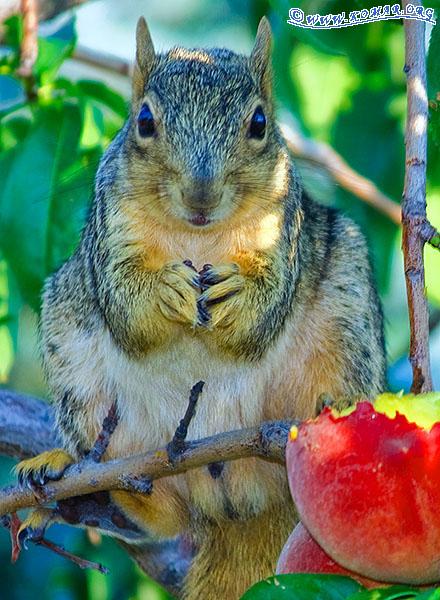 PESKY Peach Squirrels