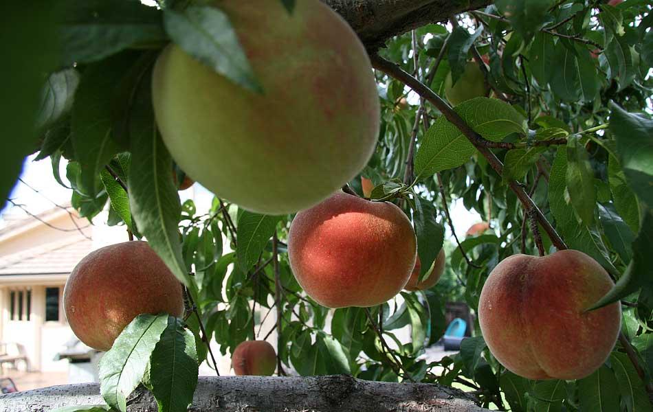 Peach trees for The peach tree