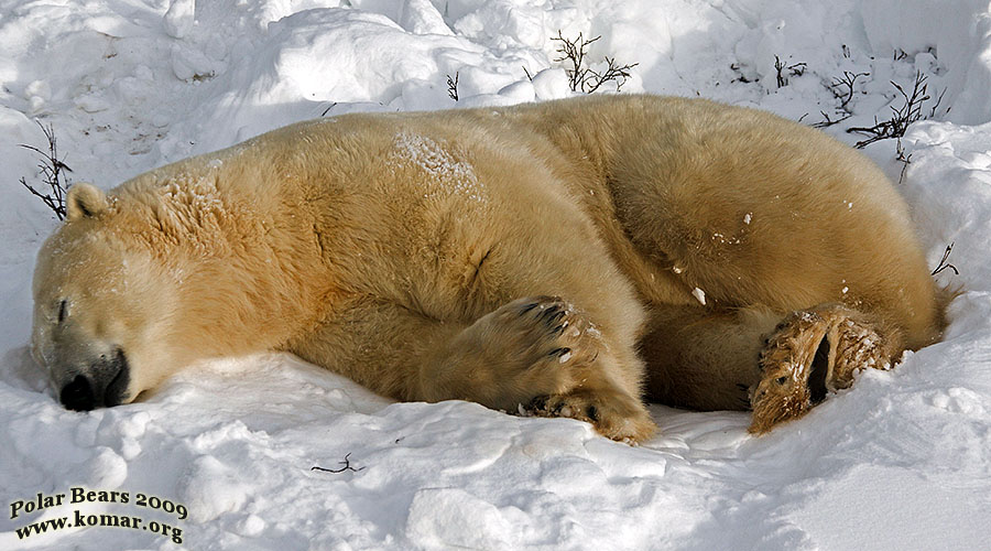 sometimes it just feels good to lay down and take a nap churchill polar bear pictures b3