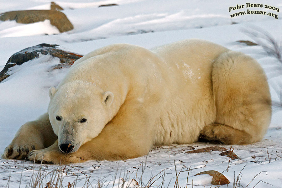 Polar Bear Pictures  COOL