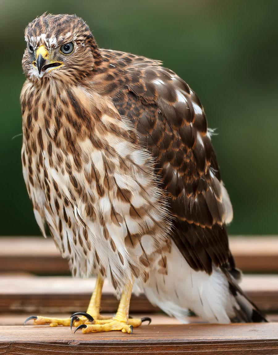 lafayette colorado cooper's hawk pergola