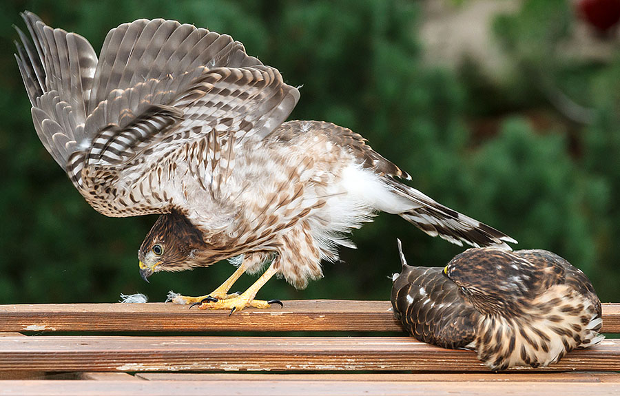 cooper's hawk fledged