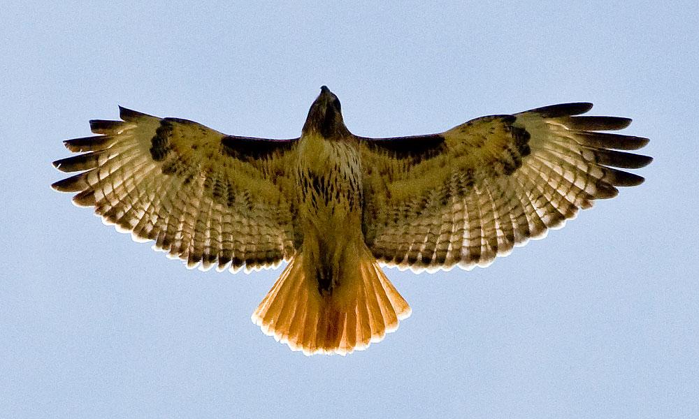 Free bird gape - 1 2