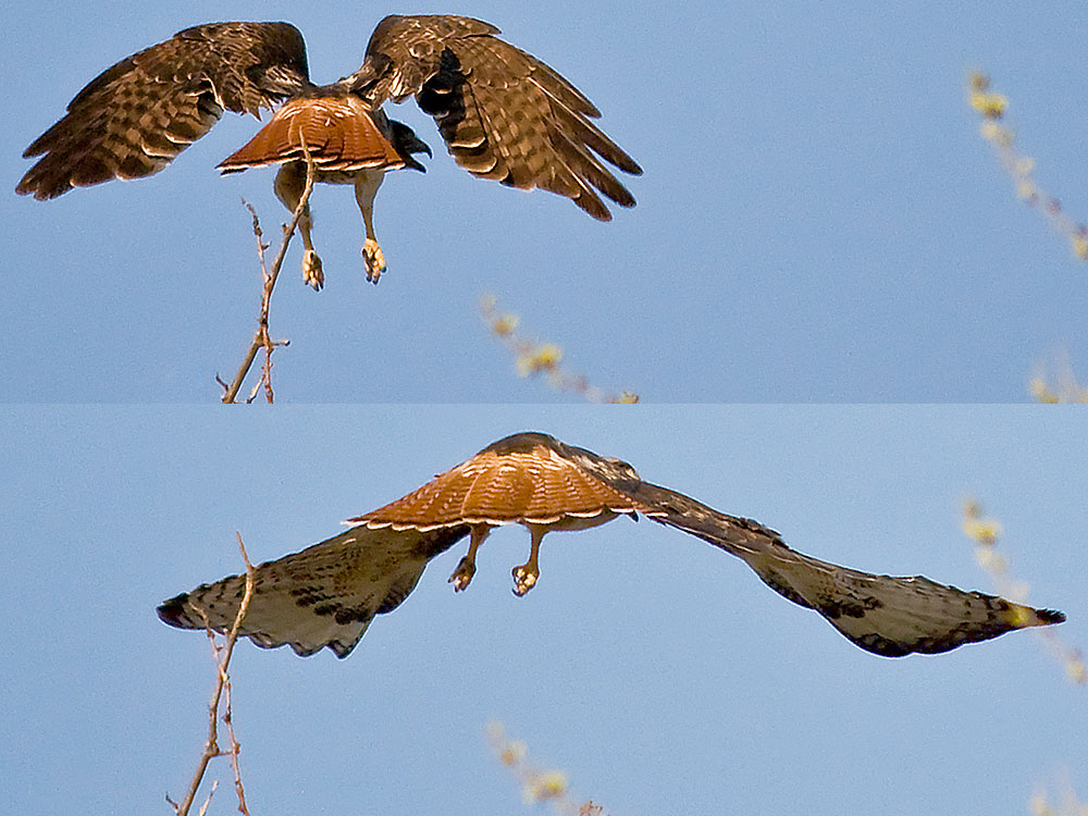 Colorado Red Tailed Hawk Wow