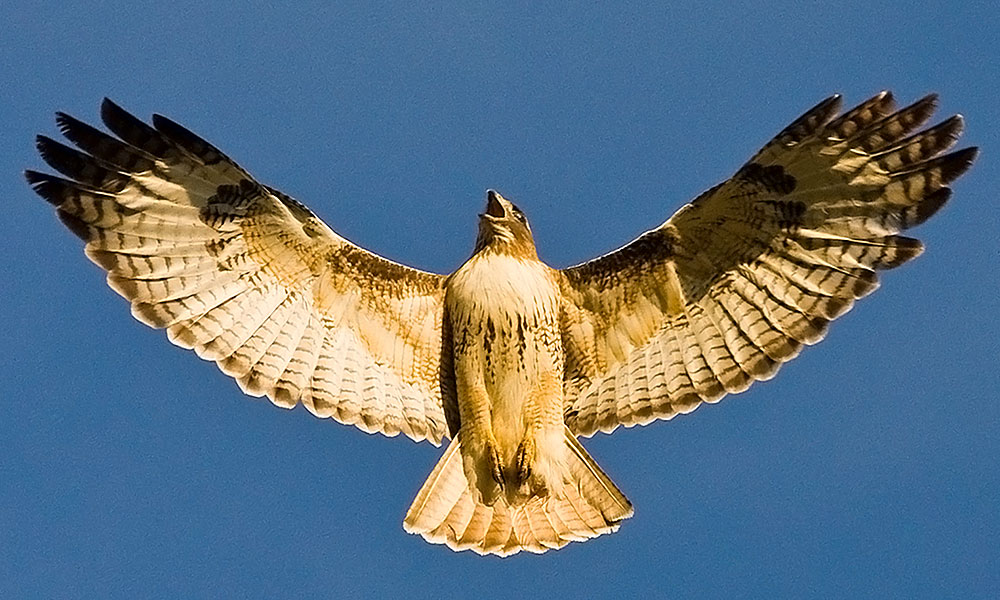 Red Tailed Hawk Wings