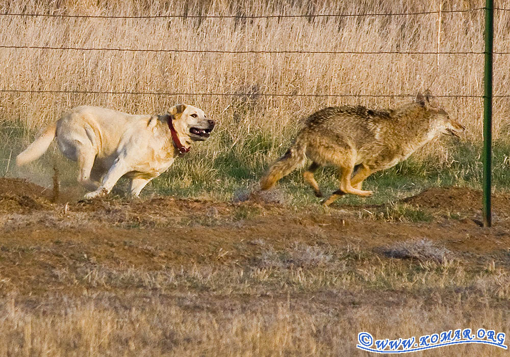 dog versus coyote 8