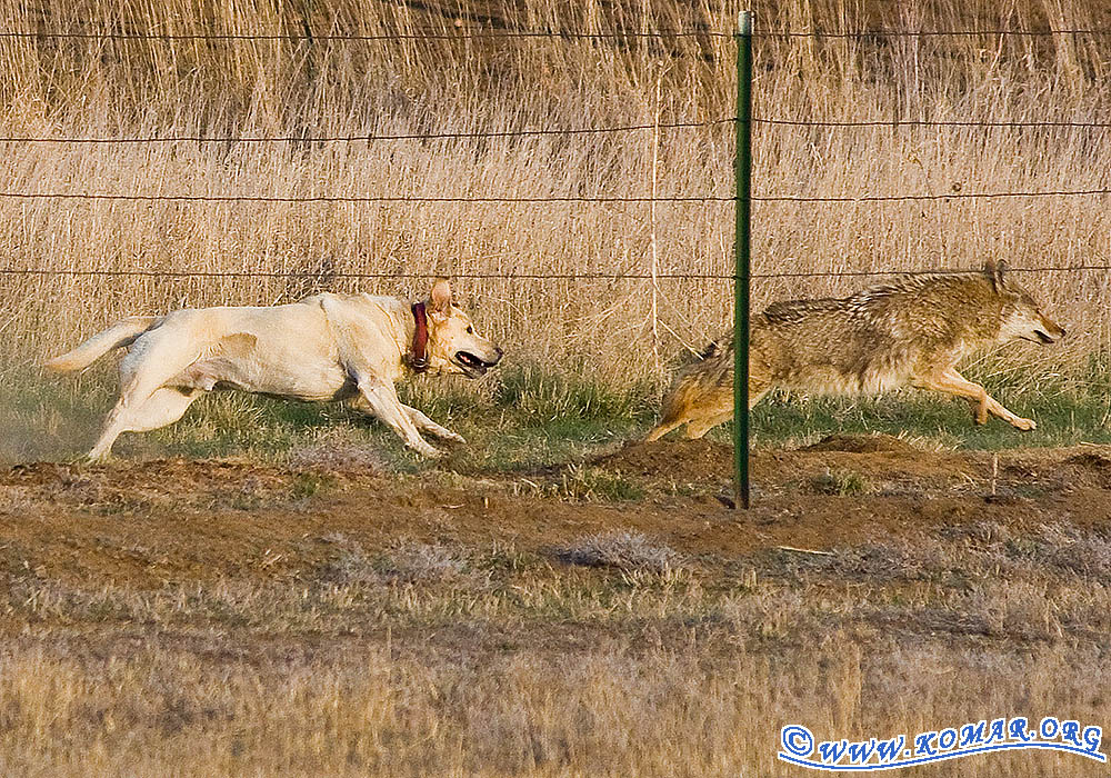 Farm Dog Versus Wile E Coyote