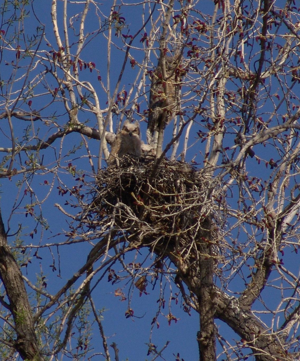Owl Nest Owls Returned to The Nest