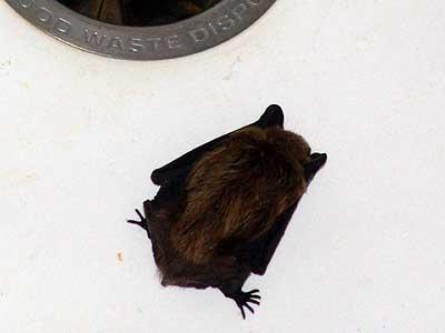 Bat In The Kitchen Sink
