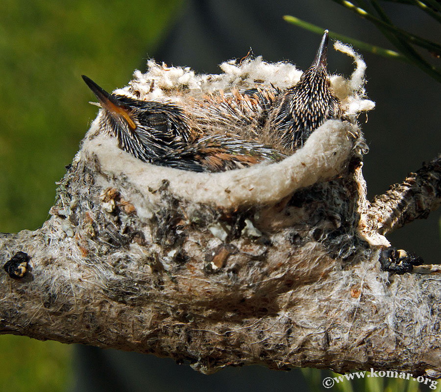 hummingbird nest 0715e