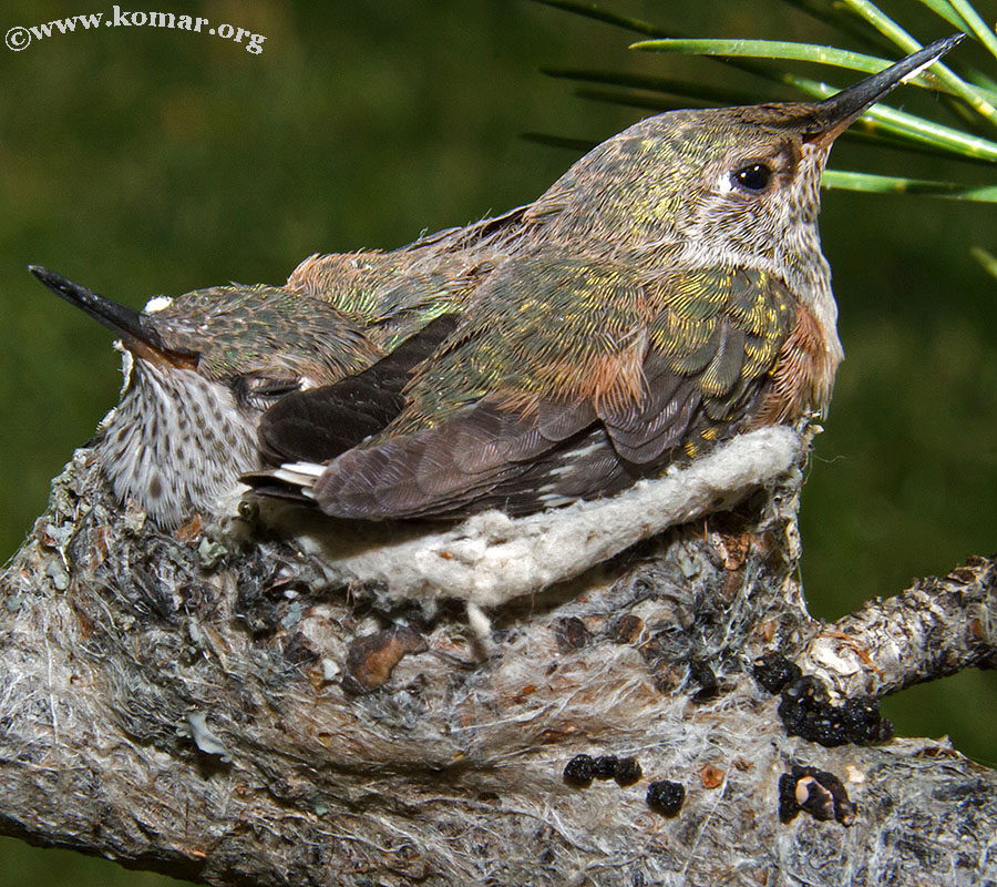 hummingbird nest 0722e