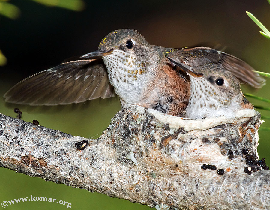 hummingbird baby spreads wing in nest