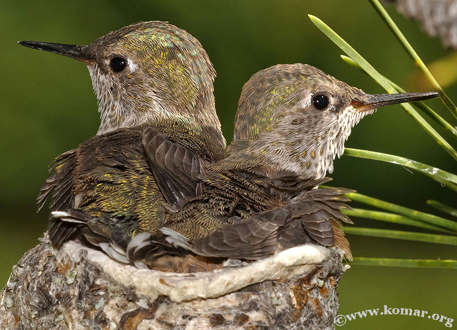 hummingbird nest 0723d