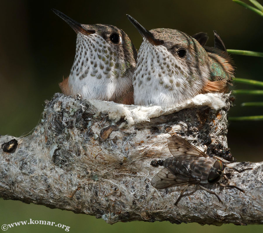 hummingbird nest 0624a