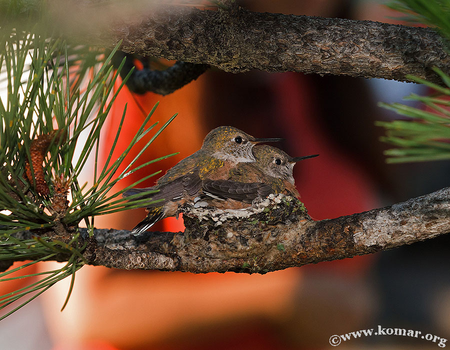 hummingbird nest 0625a