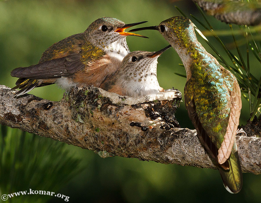 baby Hummingingbirds feed 2