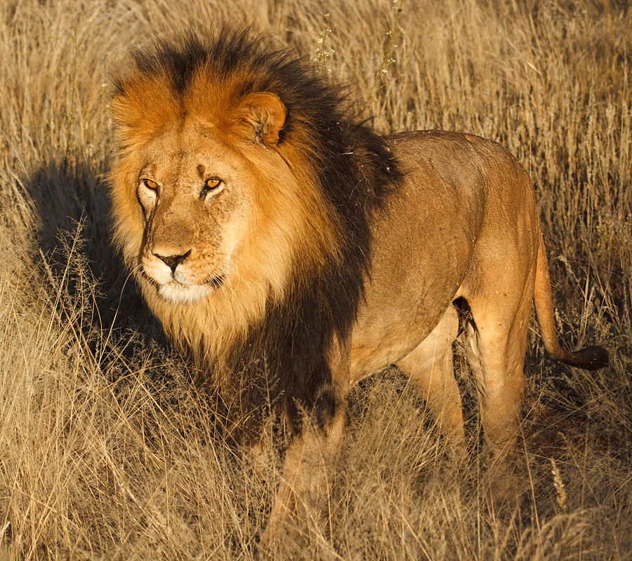 Roaring lion Stock Photos Royalty Free Roaring lion