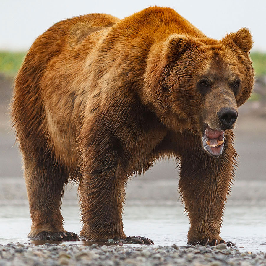 Brown Bears in Katmai, Alaska - up CLOSE and on FOOT!