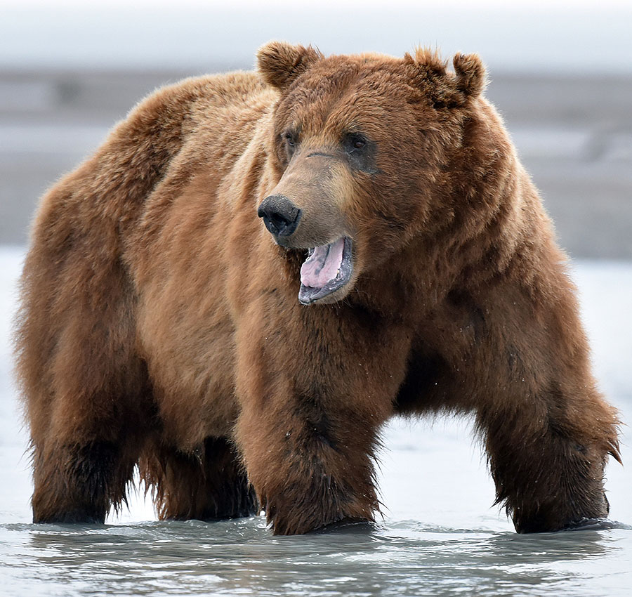 Brown Bears In Katmai Alaska Up Close And On Foot