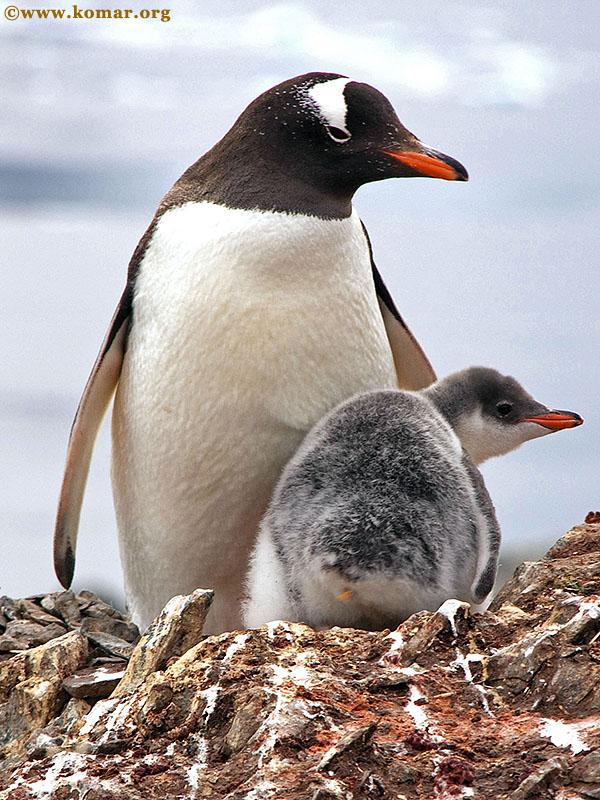 Baby Gentoo Penguin Chicks in Antarctica - WOW!!!