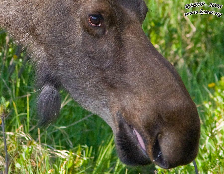 simple moose applique