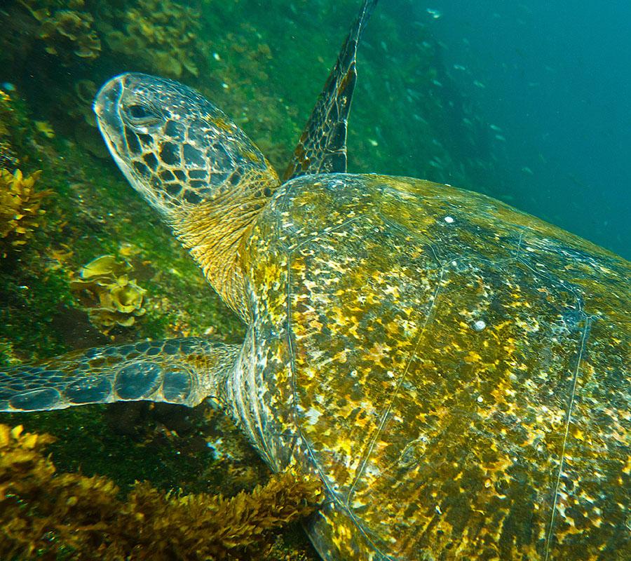galapagos islands Fernandina Tortoise 2
