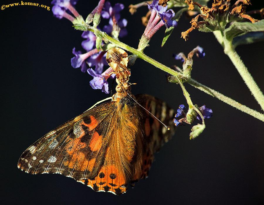 ambush bug painted lady butterfly